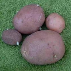 Aardappels Flourball Fleur De Pecher