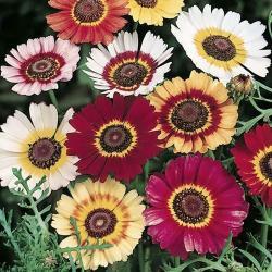 Chrysanthemum Carinatum Tricolour Single Mixed