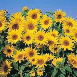 helianthus annuus 39 dwarf yellow spray 39. Black Bedroom Furniture Sets. Home Design Ideas